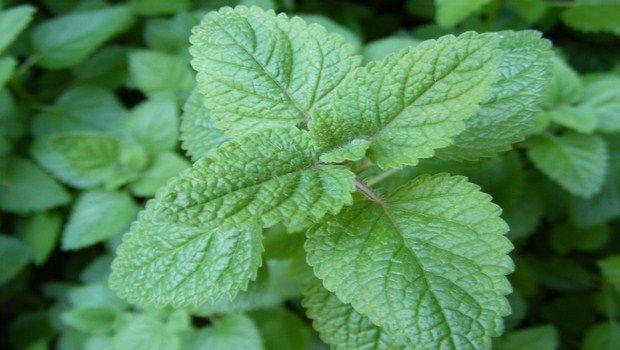 remédios naturais para bálsamo demência-limão