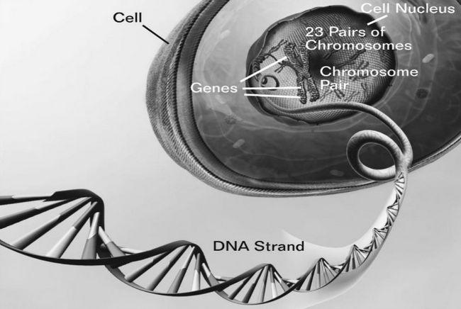 Como podemos encontrar genes por trás do envelhecimento saudável em humanos
