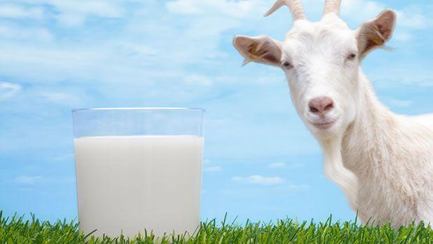 Benefícios do leite de cabra cru e alguns cuidados de beber