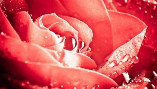 Água de rosas usa para pele e cabelo: 23 maneiras eficazes